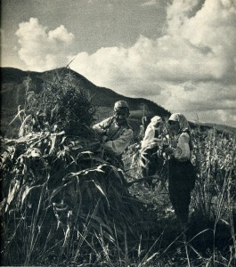 GM070: Harvesting corn near Elbasan (Photo: Giuseppe Massani, 1940).